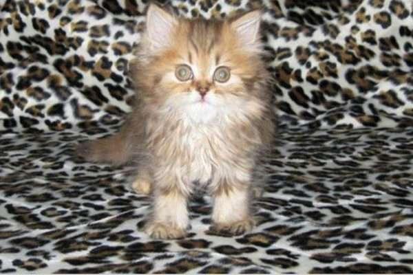 хайленд-страйт котёнок