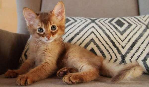 котёнок сомали
