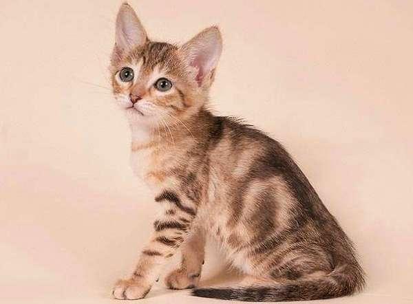 Сококе (соукок) котёнок