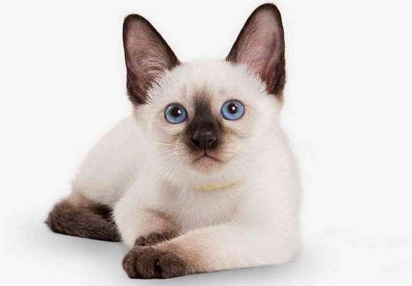 котёнок тайской кошки