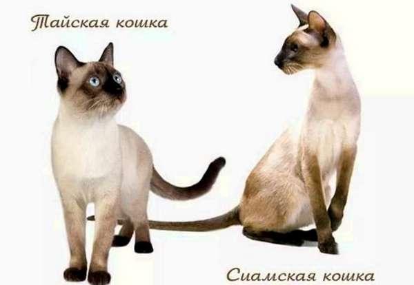 тайская и сиамская кошка