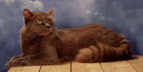 Тиффани-Шантилли коричневый