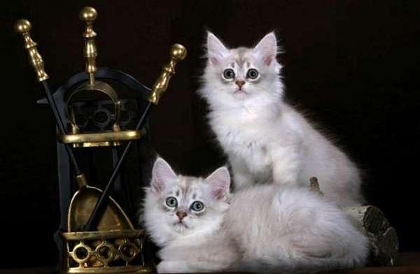 котята Тиффани-Шантилли