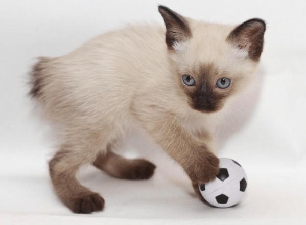 котёнок тайского бобтейла