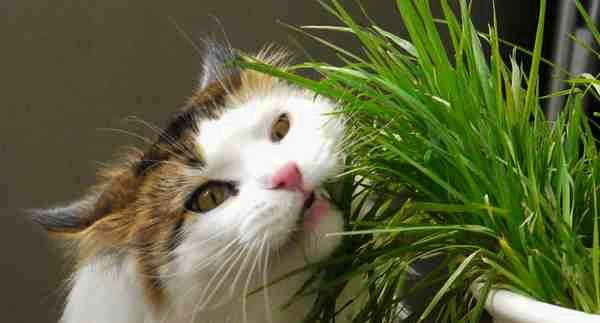 кот жрёт траву