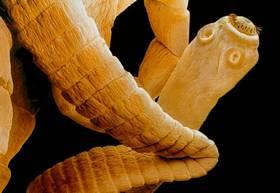 Mesocestoides lineatus